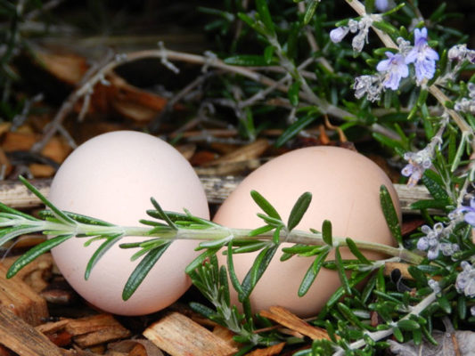 eggs beneath the rosemary bush