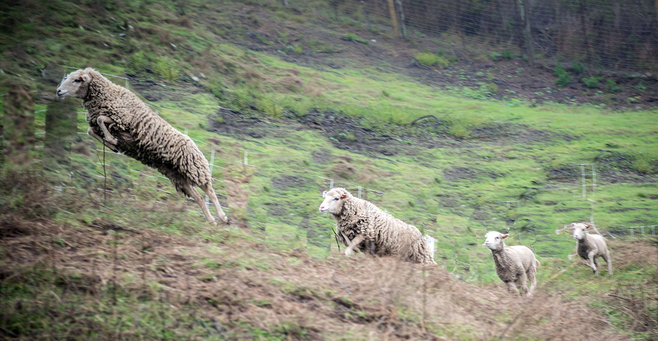 Santa Cruz Island sheep