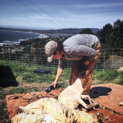Marie shearing sheep